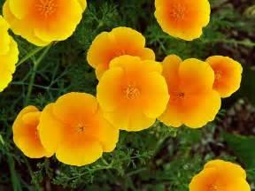 california poppy eschscholzia californica california poppy go botany