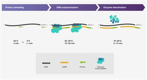 transcriptase synthesizes a dna molecule from an rna template transcription setup thermo fisher scientific
