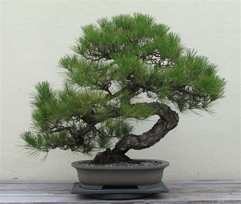 bonzi tree japanese black pine tree pinus t bonsai plant