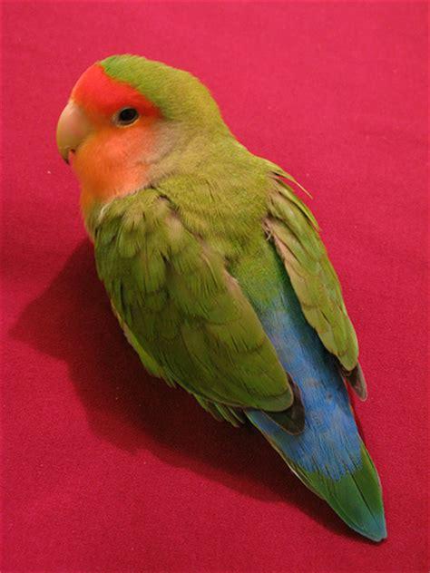 faced lovebird color flickr photo