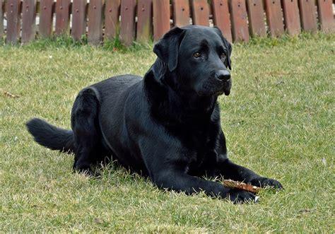 gratis libro complete flat coated retriever the para descargar ahora fotos gratis perrito perro animal vertebrado labrador retriever raza canina perro