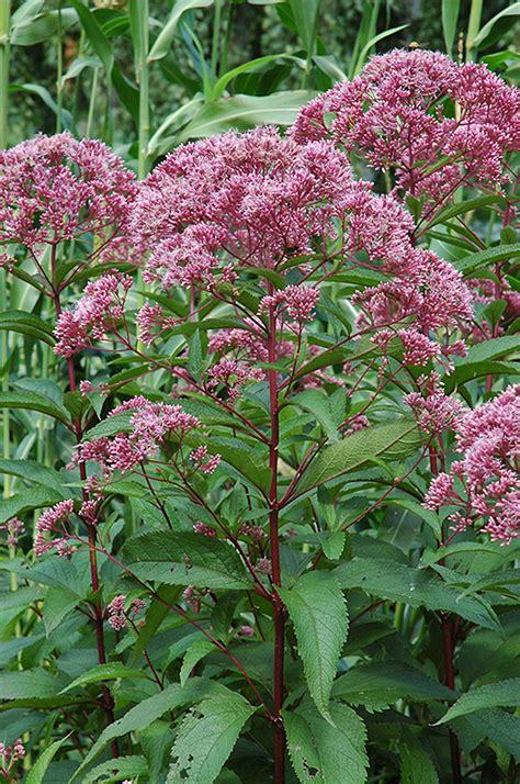 joe pye weed eupatorium maculatum in hamilton burlington waterdown dundas ontario ontario on