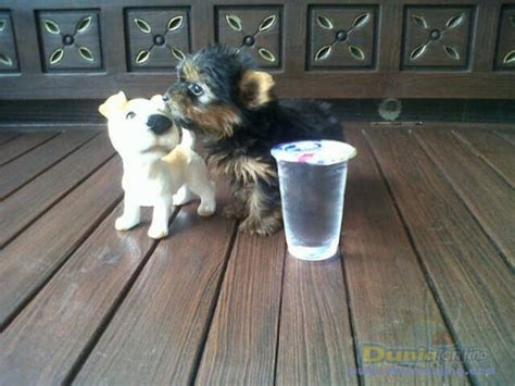 Jual Kandang Pagar Anjing Surabaya dunia anjing jual anjing terrier supermini