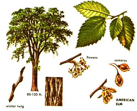 elm tree symbolism elm tree meaning elm tree meaning trees studyblue