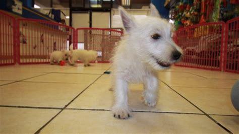 westie puppies for sale in ga playful westie terrier puppies for sale in at puppies for sale local breeders