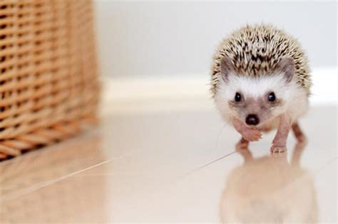 cute baby hedgehog smiling 27 cutest baby animals that will put a smile on your face