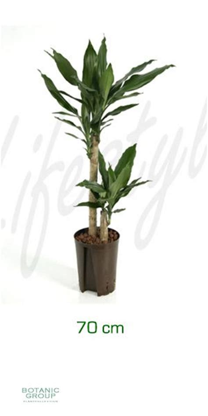 drachenbaum dracaena fragrans dracaena fragrans drachenbaum