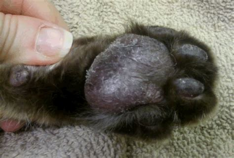 pododermatitis in dogs cures for pillow foot in cats cats