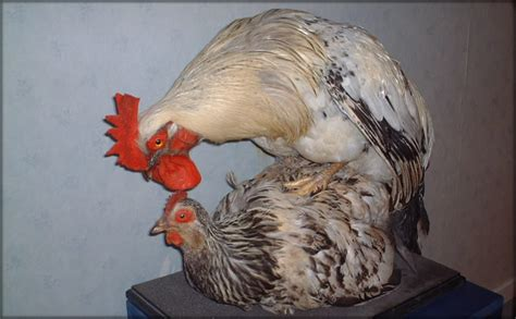 how do chickens mate diagram anatomy reproductive system diagram unlabeled