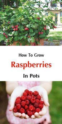 how to grow raspberries in pots garden ideas pinterest raspberry gardens and plants