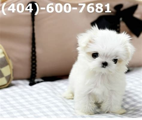 teacup puppies for sale in va healthy teacup maltese puppies now available 404 600 7681 virginia for sale