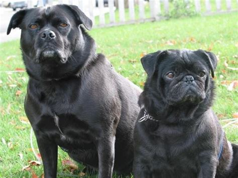 pug lab mix for sale 35 best images about pugs do the funniest things on garden gnomes a pug