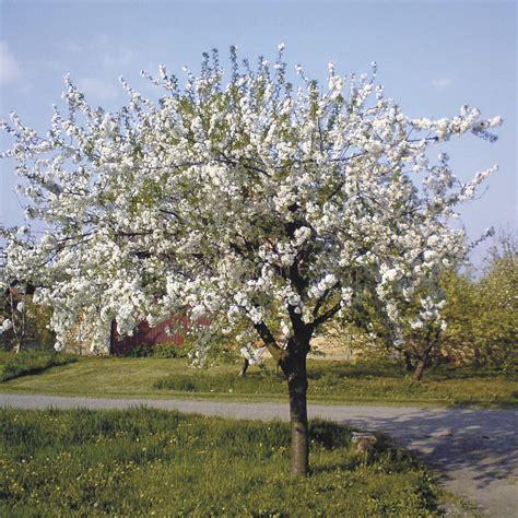 cherry tree journal black republican cherry trees will get a vote on flavor cape gazette