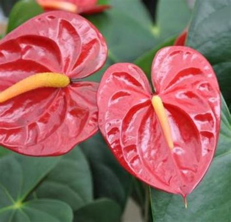 Tanaman Hias Anthurium Pink 225 best tanaman hias bunga images on