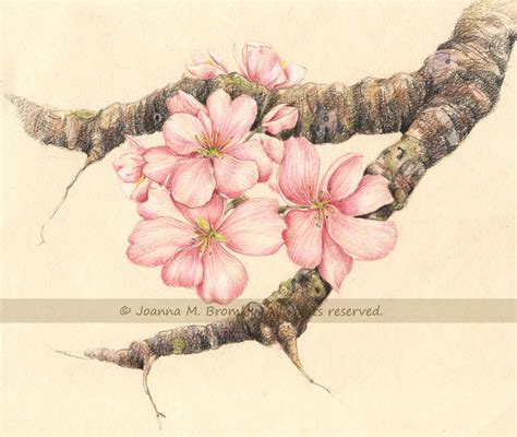 apple blossom branch by joannabromley on deviantart