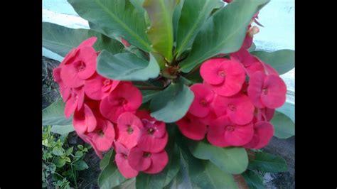 tanaman bunga euphorbia youtube