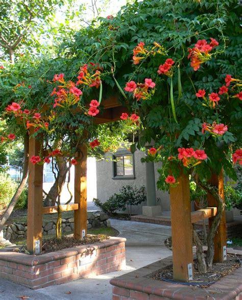 jual bibit trumpet creeper tanaman merambat cantik bunga