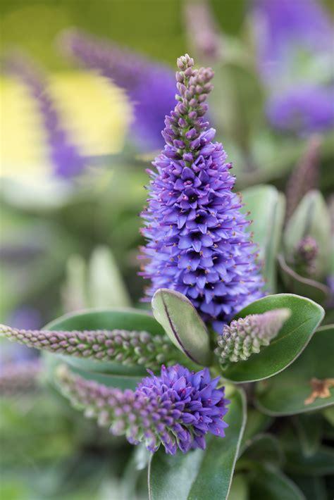 Garten Pflanzen August by Garden Plant Of The Month August Hebe Flower Council