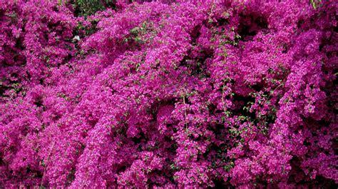 Bougainvillea Pflanze Winterhart 6740 by Kostenlose Foto Bl 252 Hen Blume Flora Blumen