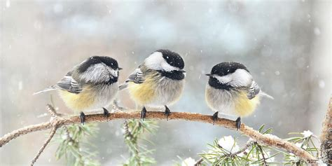 3 chickadees on a snowy day photograph by peg runyan