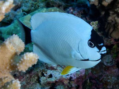Ikan Bawah Laut 9 ikanhias info akuarium air laut