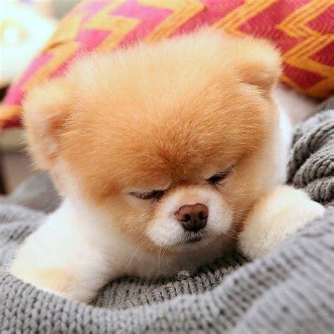 pomeranian boo breed the 25 best ideas about pomeranian boo on boo the cutest