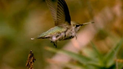 hummingbirds edge out helicopters in hover contest bbc news