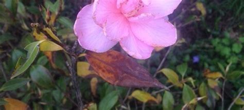 camellia petal blight archives garden answers