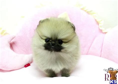 pomeranian puppies for sale uk micro teacup pomeranian puppies for sale uk