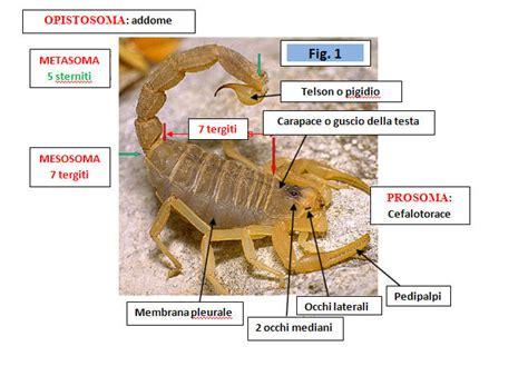 scorpioni in casa come eliminarli gli scorpioni in italia
