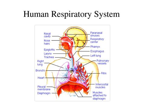 Diagram Respiratory Tract Of Earthworm Human Anatomy Picture Well Labelled Diagram Of Human Respiratory System Labeled Diagram Of Human Respiratory System