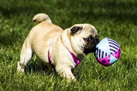 can pugs be trained facts about pugs