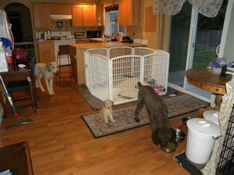 how to puppy proof a house puppy proofing your house aussiedoodle and labradoodle puppies best labradoodle