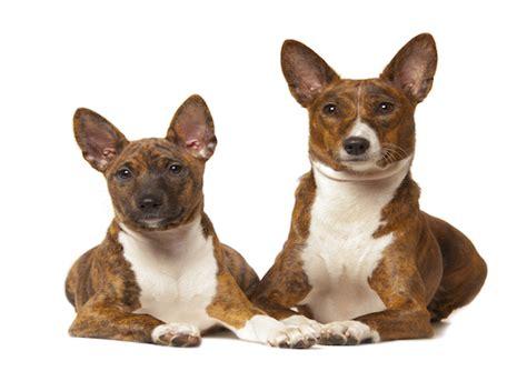 pseudopregnancy in dogs false pregnancy in dogs petmd