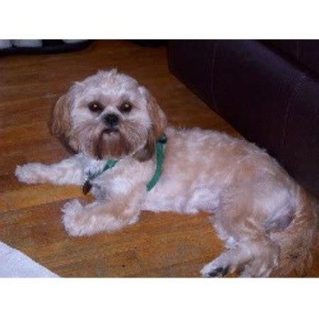 adoption pittsburgh pa shih tzu rescue in pittsburgh breeds picture