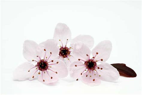 fiori di bach per lutto cherry plum mirabolano il fiore di bach per accettare i