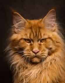 maine coon colors 16 maine coon cats that look like majestic mythical