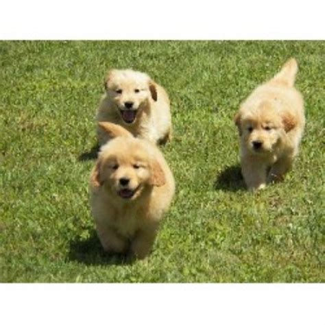 golden retriever new york golden retriever breeders in new york freedoglistings breeds picture