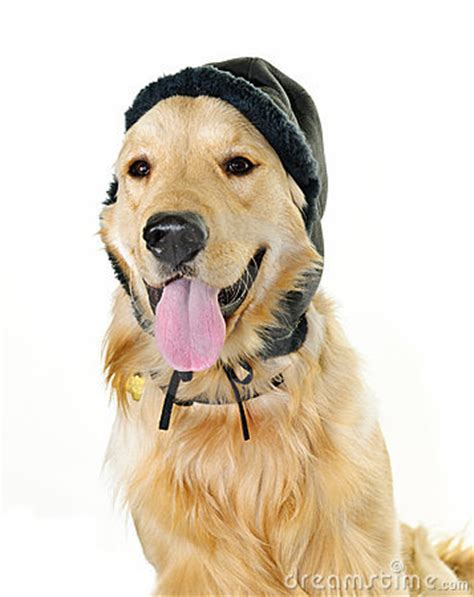puppy golden retrievers with hats on golden retriever wearing winter hat stock images image 18792724