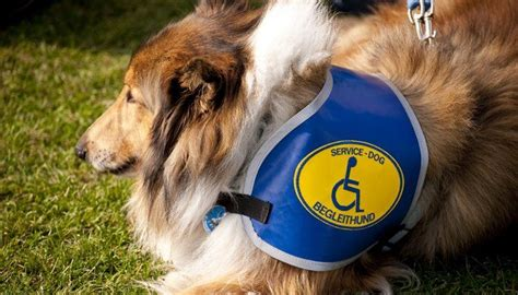 how to get a psychiatric service 17 best ideas about service dogs on therapy dogs therapy and