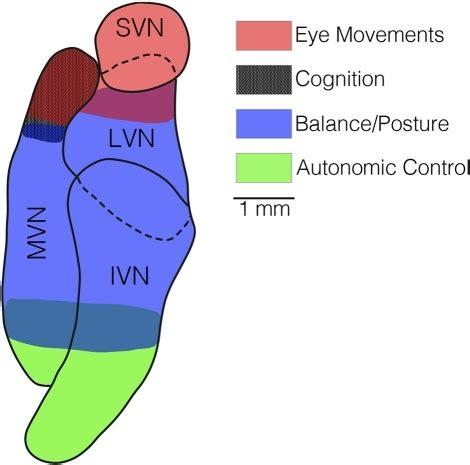 vestibular nerve section recovery a horizontal section through the vestibular nucleus com