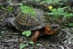 eastern box turtle info turtle