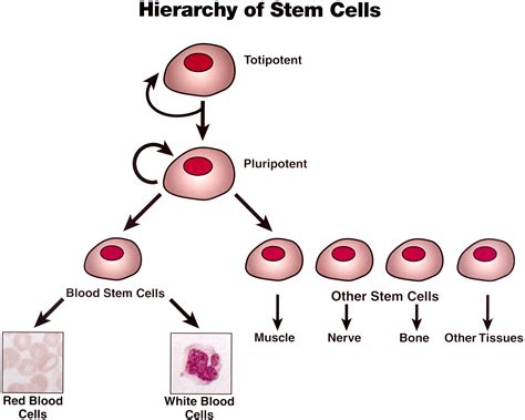 bb4a final what are stem cells and how do they become different