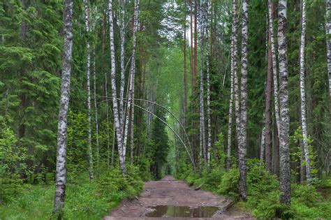 Search In Russia Russia Birch Forest Search In Pictures