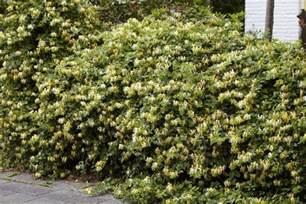Fragrant Indoor Plants - lonicera fragrantissima winter honeysuckle