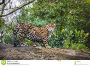 The Jungle Jaguars Jaguar In The Jungle Stock Images Image 36153054