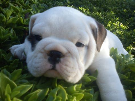 bulldog ingles imagenes fotos bulldog ingl 233 s cachorros wikipets