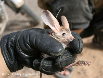 Eared Jerboa Endangered by Top 10 Cutest Eared Jerboas N Tiny