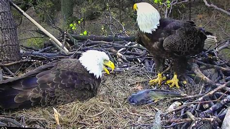 aef dc eagle cam incredible moment an eaglet is born