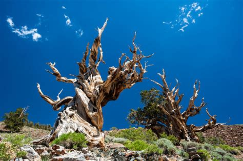 how is the oldest in the world what is the oldest tree in the world worlds oldest tree